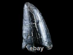 1.2 Daspletosaurus Tyrannosaur Fossil Tooth Cretaceous Dinosaur T-Rex COA Stand