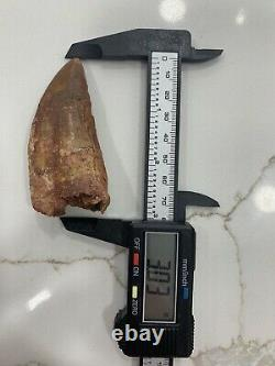 AFRICAN T-REX Carcharodontosaurus Dinosaur Tooth 3.03 in. NATURAL REAL