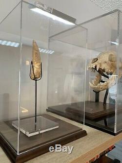AFRICAN T-REX Carcharodontosaurus Dinosaur Tooth 4 7/8 HUGE MONSTER SIZE