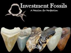 African T-Rex Carcharodontosaurus Dinosaur Tooth 2 & 5/8 in. NATURAL