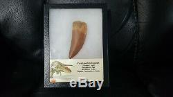 African T-Rex Carcharodontosaurus Dinosaur Tooth HUGE Ultimate QUALITY SALE