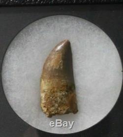 African T-Rex Dinosaur Tooth