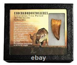 CARCHARODONTOSAURUS Dinosaur Tooth 2.067 Fossil African T-Rex MDB #15004 13o