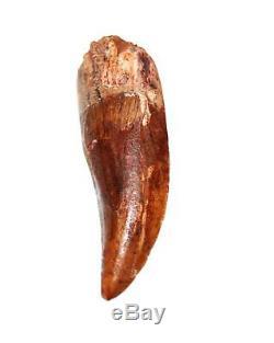 CARCHARODONTOSAURUS Dinosaur Tooth 2.188 Fossil African T-Rex MDB #15006 13o