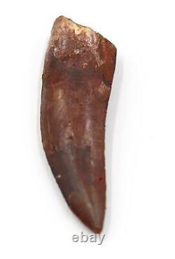 CARCHARODONTOSAURUS Dinosaur Tooth 2.634 Fossil African T-Rex MDB #15283 14o