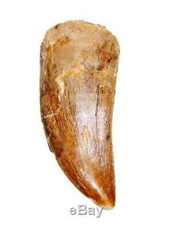CARCHARODONTOSAURUS Dinosaur Tooth 2.709 Fossil African T-Rex MDB #15013 13o