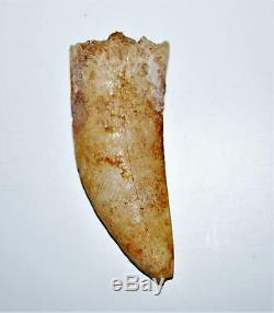CARCHARODONTOSAURUS Dinosaur Tooth 2.878 Fossil African T-Rex LDB #14167 15o