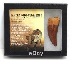 CARCHARODONTOSAURUS Dinosaur Tooth 2.900 Fossil African T-Rex MDB #15306 14o