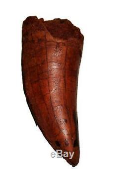 CARCHARODONTOSAURUS Dinosaur Tooth 3.053 Fossil African T-Rex MDB #14733 13o