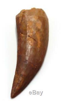CARCHARODONTOSAURUS Dinosaur Tooth 3.126 Fossil African T-Rex MDB #15298 14o