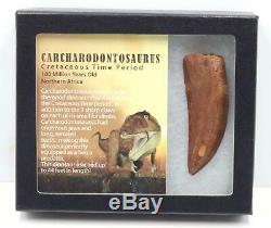 CARCHARODONTOSAURUS Dinosaur Tooth 3.220 Fossil African T-Rex MDB #15293 14o