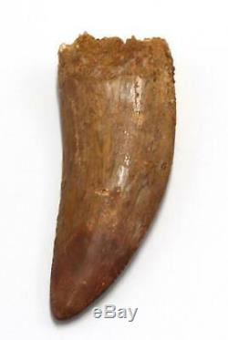 CARCHARODONTOSAURUS Dinosaur Tooth 3.352 Fossil African T-Rex MDB #15307 14o