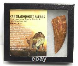CARCHARODONTOSAURUS Dinosaur Tooth 3.381 Fossil African T-Rex MDB #15308 14o