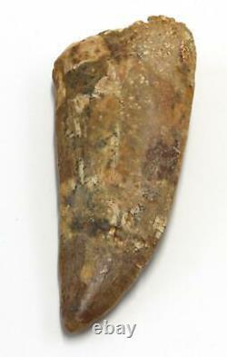 CARCHARODONTOSAURUS Dinosaur Tooth 3.396 Fossil African T-Rex MDB #15309 14o