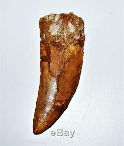 CARCHARODONTOSAURUS Dinosaur Tooth 3.501 Fossil African T-Rex XLDB #14165 20o