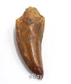 CARCHARODONTOSAURUS Dinosaur Tooth 3.541 Fossil African T-Rex MDB #15311 14o