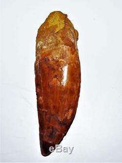 CARCHARODONTOSAURUS Dinosaur Tooth 4.087 Fossil African T-Rex XLDB #14163 22o