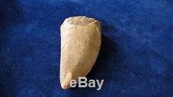 Carcharodontosaurus Dinosaur Tooth Teeth Fossil T REX Large