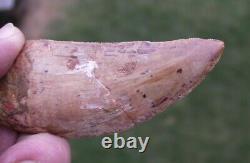 Carcharodontosaurus Dinosaur Tooth Teeth Fossil T REX Large 3 large