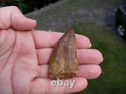 Carcharodontosaurus Dinosaur Tooth Teeth Fossil T REX Large quality