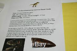 Carcharodontosaurus dinosaur CARCHARODON TOOTH 3.11 AKA African TREX T REX CS10