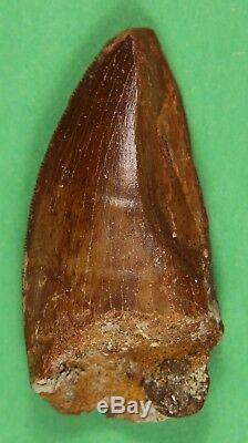 Carcharodontosaurus saharicus Dinosaur Tooth African T-Rex