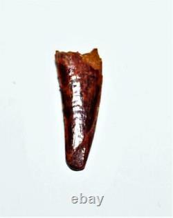 Dinosaur Teeth (Set of 3) African T-Rex Pterosaur Dromeosaur withCOA LDB 14395 15o