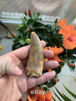Excellent 3.67 Carcharodontosaurus Tooth Dinosaur Fossil T Rex