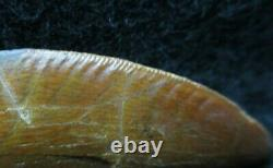 Excellent Dinosaur Fossil Tooth, Carcharodontosaurus 2 1/4 Inches! African T Rex
