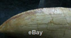 Excellent Dinosaur Fossil Tooth, Carcharodontosaurus 3 Inches! African T Rex