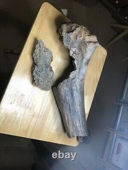 Fossil Dinosaur Juvenile T-REX Femur Cretaceous of Montana Hell Creek FM
