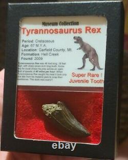 Fossil Dinosaur Trex Juvenile Tyrannosaurus Rex 1.5 Tooth Hell Creek Htf