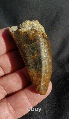 Fossil Dinosaur Trex Tyrannosaurus Rex 2.25 Tooth Hell Creek