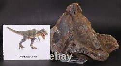 Fossil Dinosaur Tyrannosaurus T Rex Large Dorsal Vertebrae Hell Creek Fm Montana