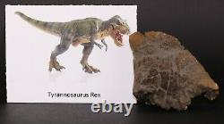 Fossil Dinosaur Tyrannosaurus T Rex Maxilla piece Hell Creek Montana MT COA 3451