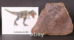 Fossil Dinosaur Tyrannosaurus T Rex Pre-Maxilla (Snout) Bone Hell Ck Montana COA