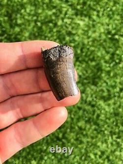 Genuine Partial Tyrannosaurus Rex Tooth Dinosaur T-rex Fossil 1.1 Inches