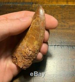 HUGE 3.40 Carcharodontosaurus Dinosaur Tooth Fossil T Rex Africa Morocco