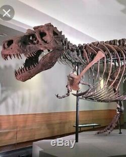 Huge Quality Tyrannosaurus Rex Tooth Tip Dinosaur Fossil Jurassic Park Trex