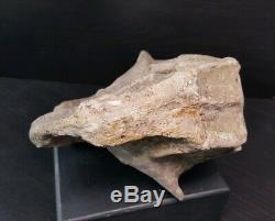 LPK02 Dinosaur Psittacosaurus fossil skull t rex Dinosaurus