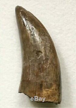 Large 1.25 Gorgosaurus Tooth Fully Serrated! T Rex Tyrannosaurus Dinosaur
