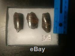 Large Tyrannosaurus Rex Fossil Tooth Fragments Dinosaur Trex Teeth Jurassic Park