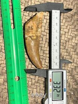 MQ Rooted 3.32 Carcharodontosaurus Tooth Dinosaur Fossil T Rex