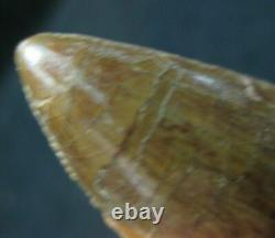 Monster Dinosaur Fossil Tooth, Carcharodontosaurus 3 3/4 Inches! African T Rex