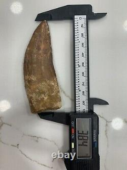 Monster Dinosaur Fossil Tooth, Carcharodontosaurus 3 8/4 Inches! African T Rex