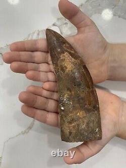 Museum T rex Tyrannosaurus rex Dinosaur Fossil Tooth Fossils 5.85