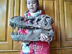 NEW, 38CMDinosaur model / T-REX Skull Small Model DB-R1802
