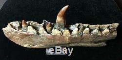 NSF- 28.5 cm Megalosaurus Dinosaur Jaw Replica (not T Rex cast) William Buckland