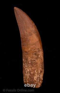 Quality Carcharodontosaurus Tooth not T. Rex. Theropod Dinosaur 4.33
