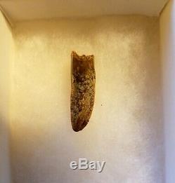 Rare Asian T-Rex Dinosaur Juvenile Tarbosaurus Bataar fossil tooth Gobi Mongolia